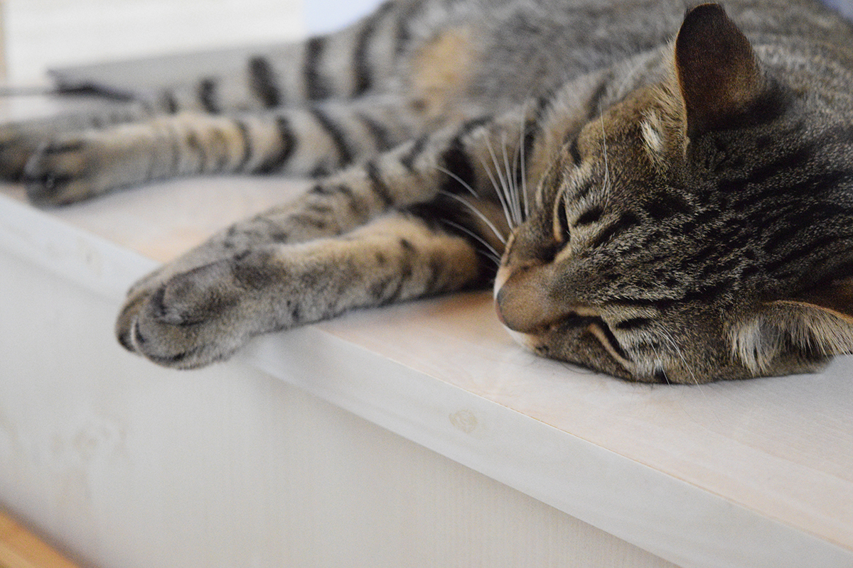 つられて眠るキジトラ猫の虎ノ介