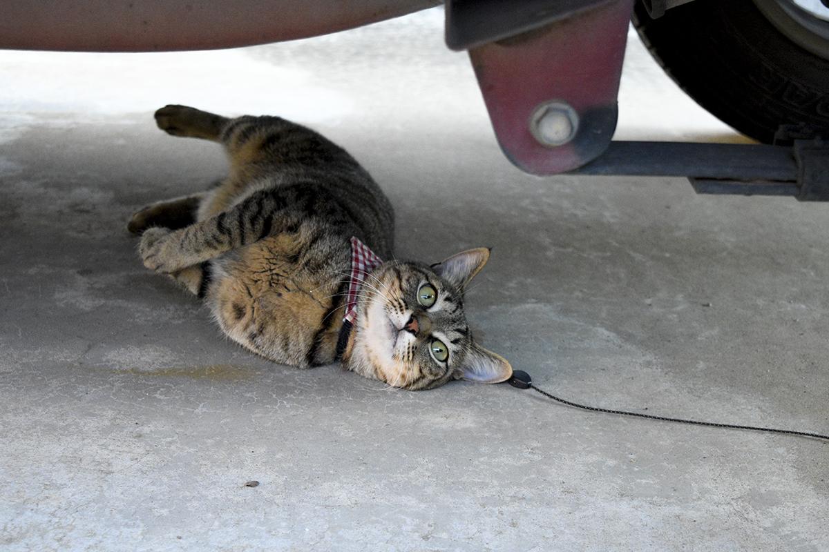 車の下でくつろぐ虎ノ介