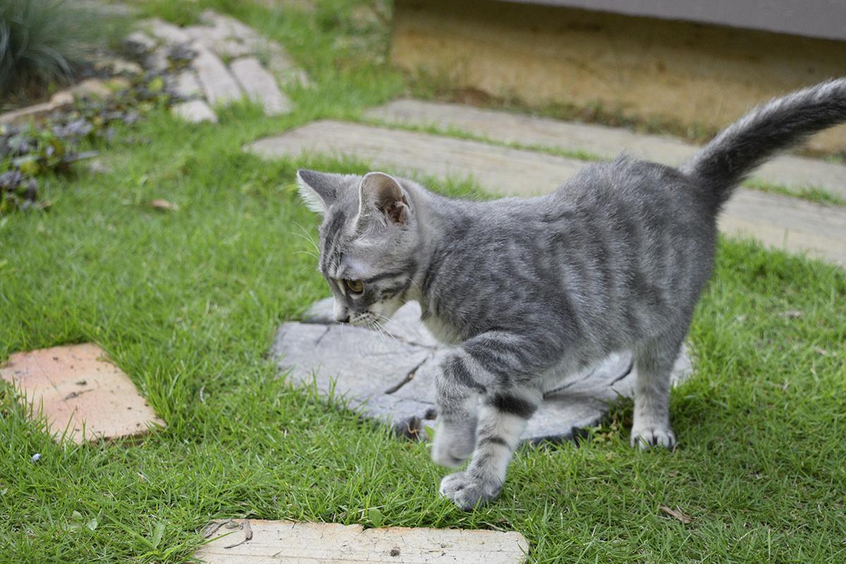 お外で一歩も歩けないサバトラ猫の春太