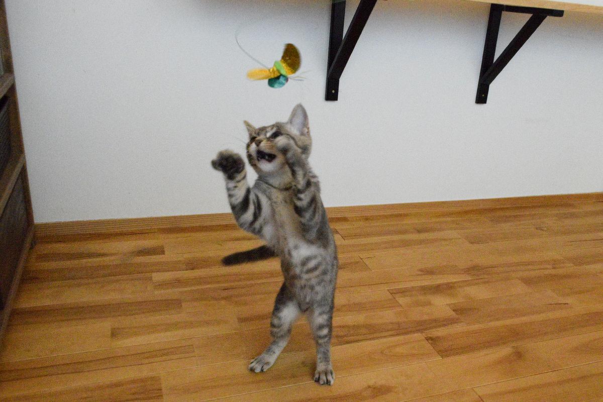 一人遊びをするサバトラ猫の春太