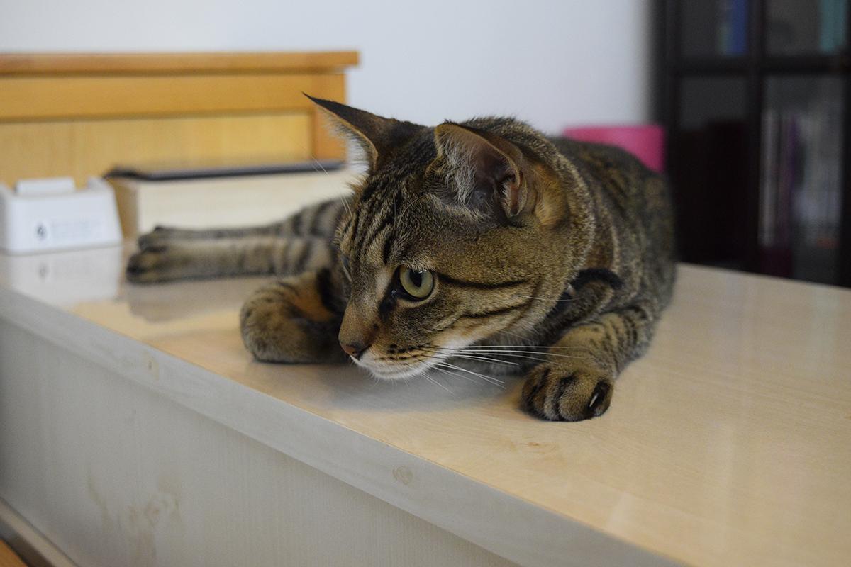 ジーっと何かを見つめるキジトラ猫の虎ノ介