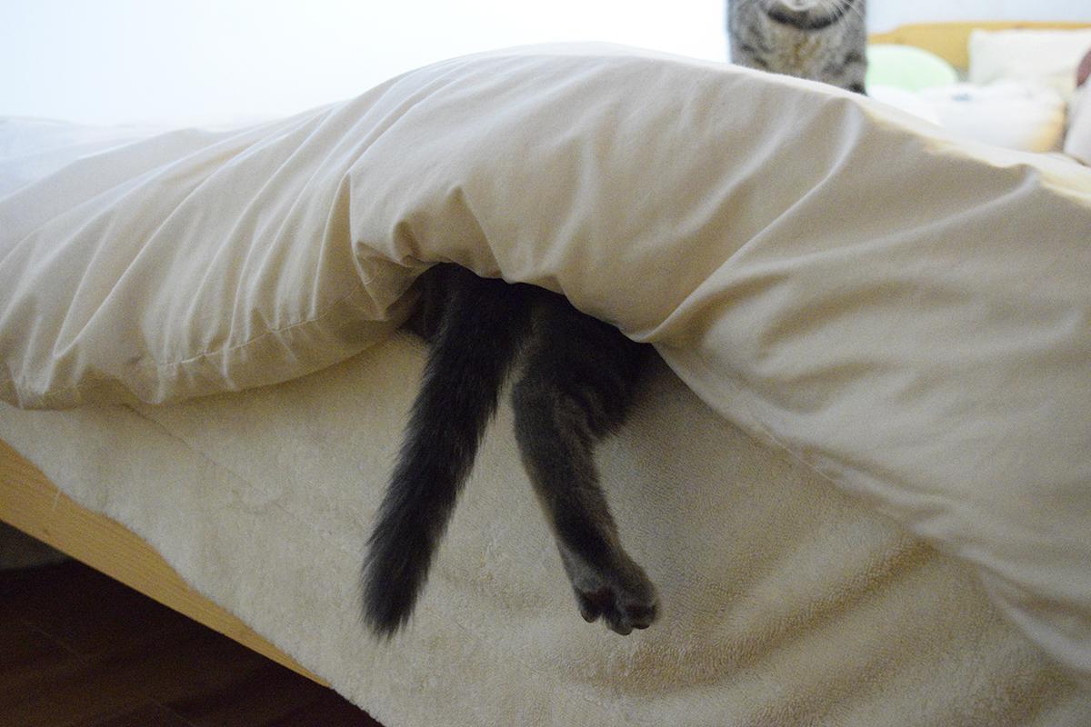 布団に潜り込むサバトラ猫の春太