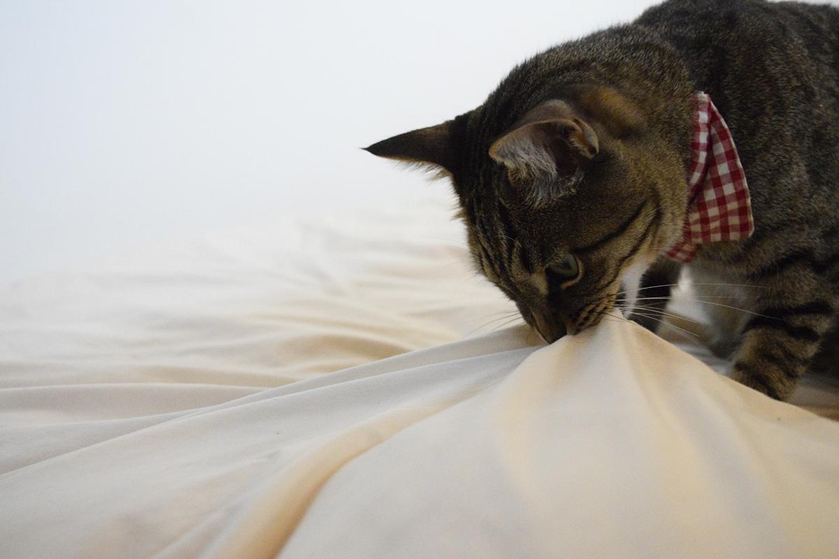 布団を引っ張るキジトラ猫の虎ノ介