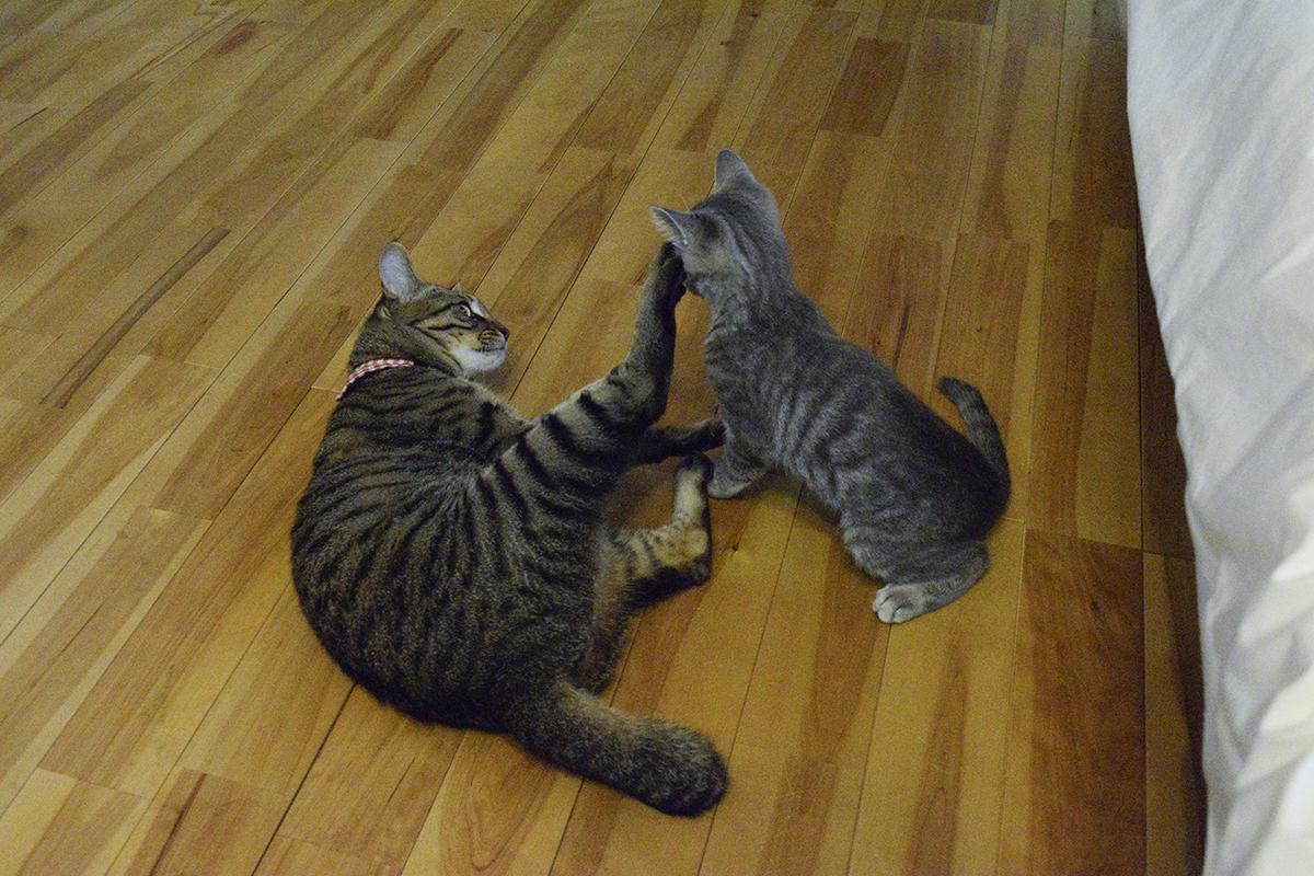 サバトラ猫の春太の顔を足でけるキジトラ猫の虎ノ介