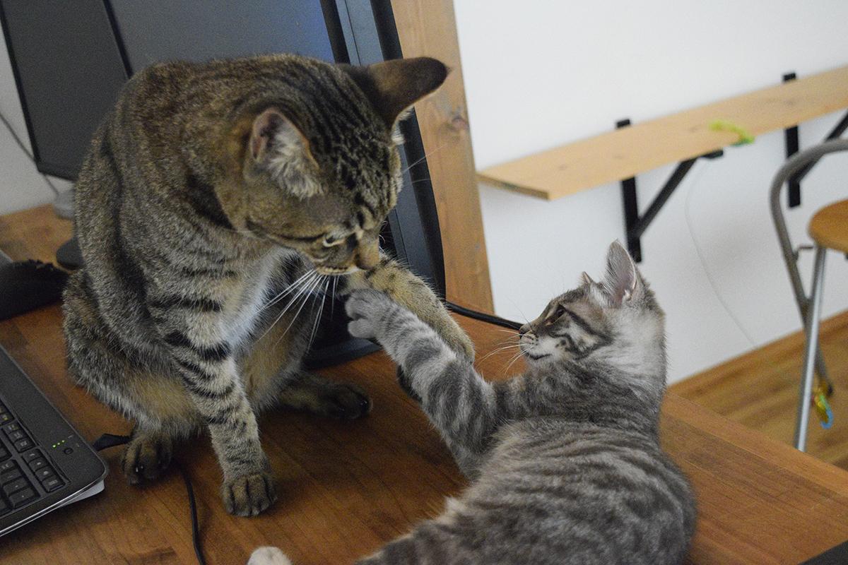 机の上でじゃれあうキジトラ猫の虎ノ介とサバトラ猫の春太