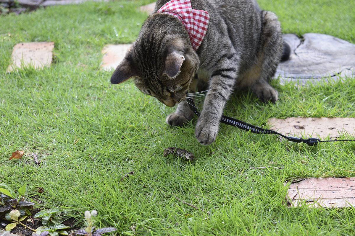 芋虫をもてあそぶキジトラ猫の虎ノ介