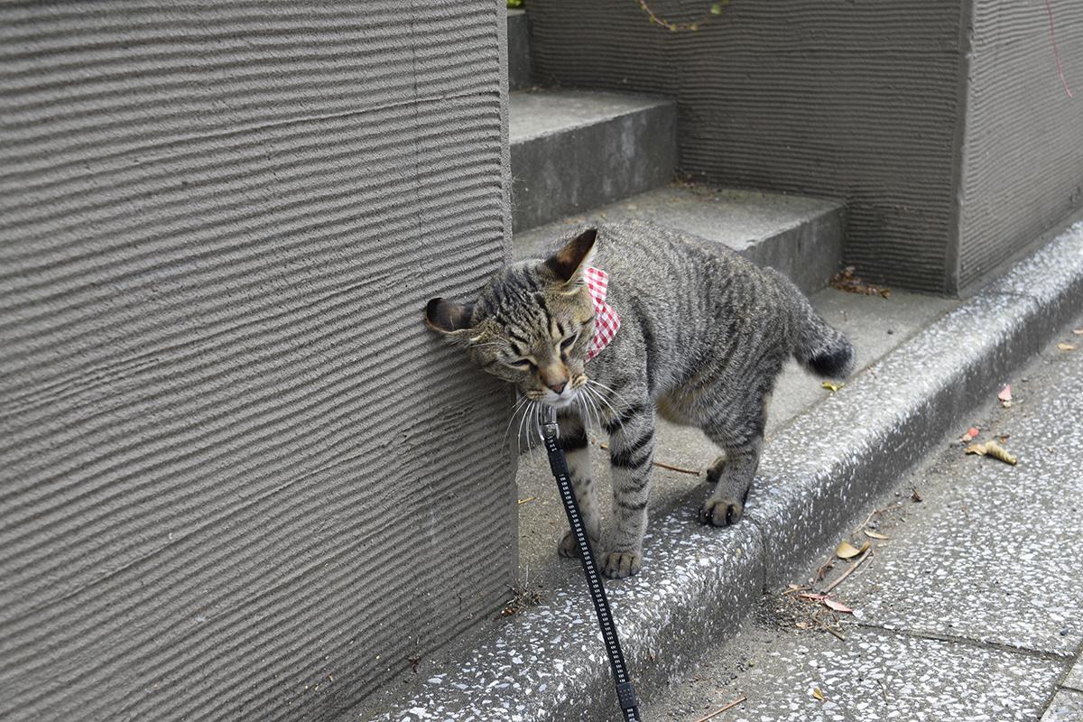 別荘にスリスリするキジトラ猫の虎ノ介