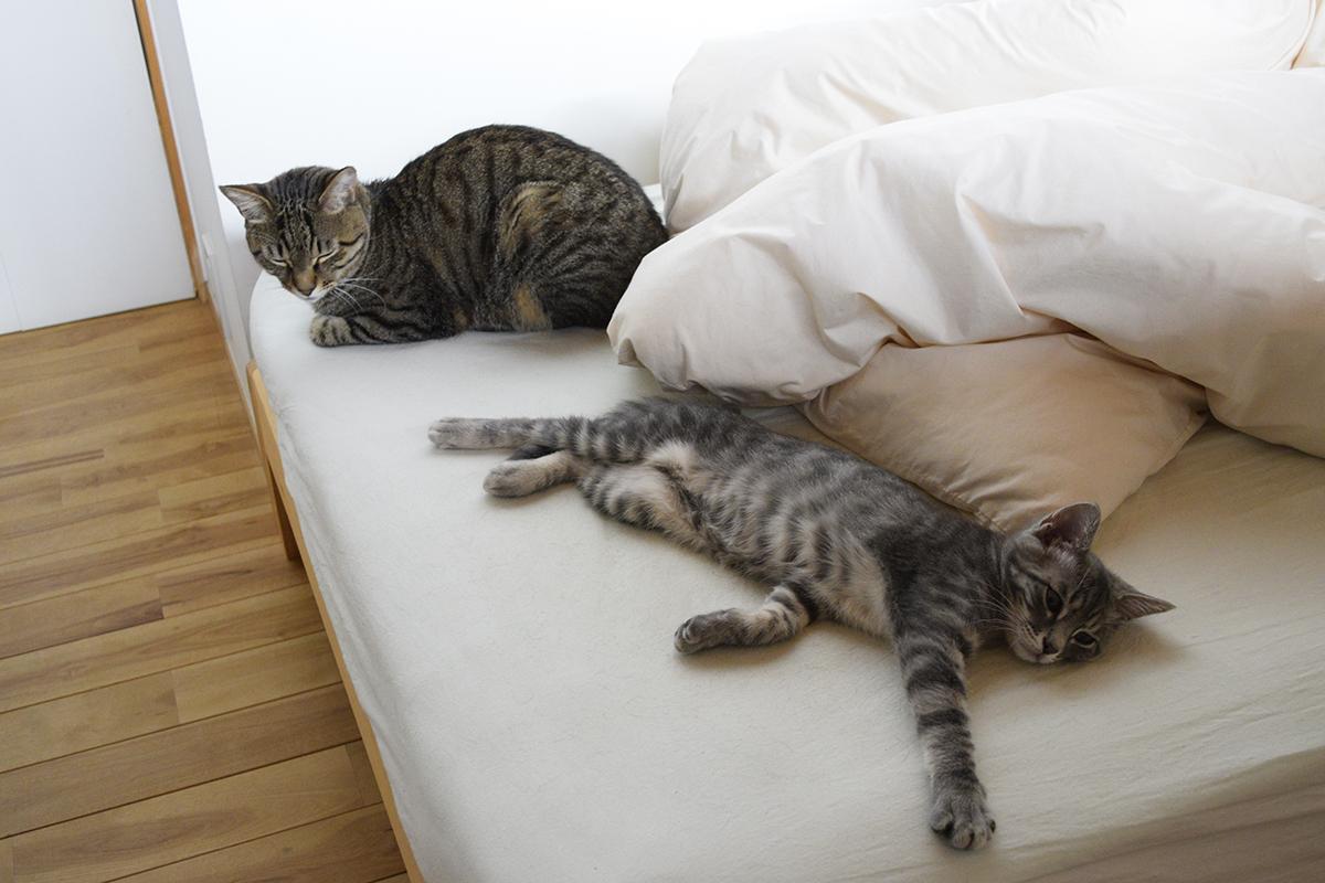 並んで眠るキジトラ猫の虎ノ介とサバトラ猫の春太