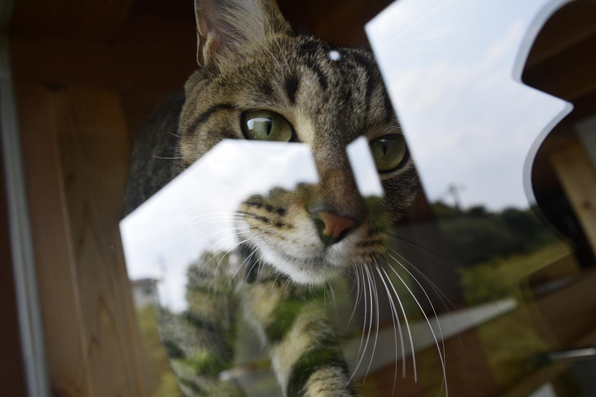 窓に張り付くキジトラ猫の虎ノ介