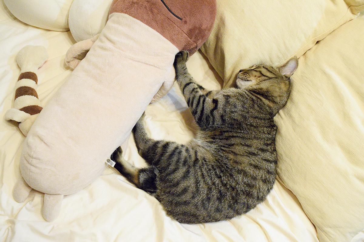 ぬいぐるみを押しながら眠るキジトラ猫の虎ノ介