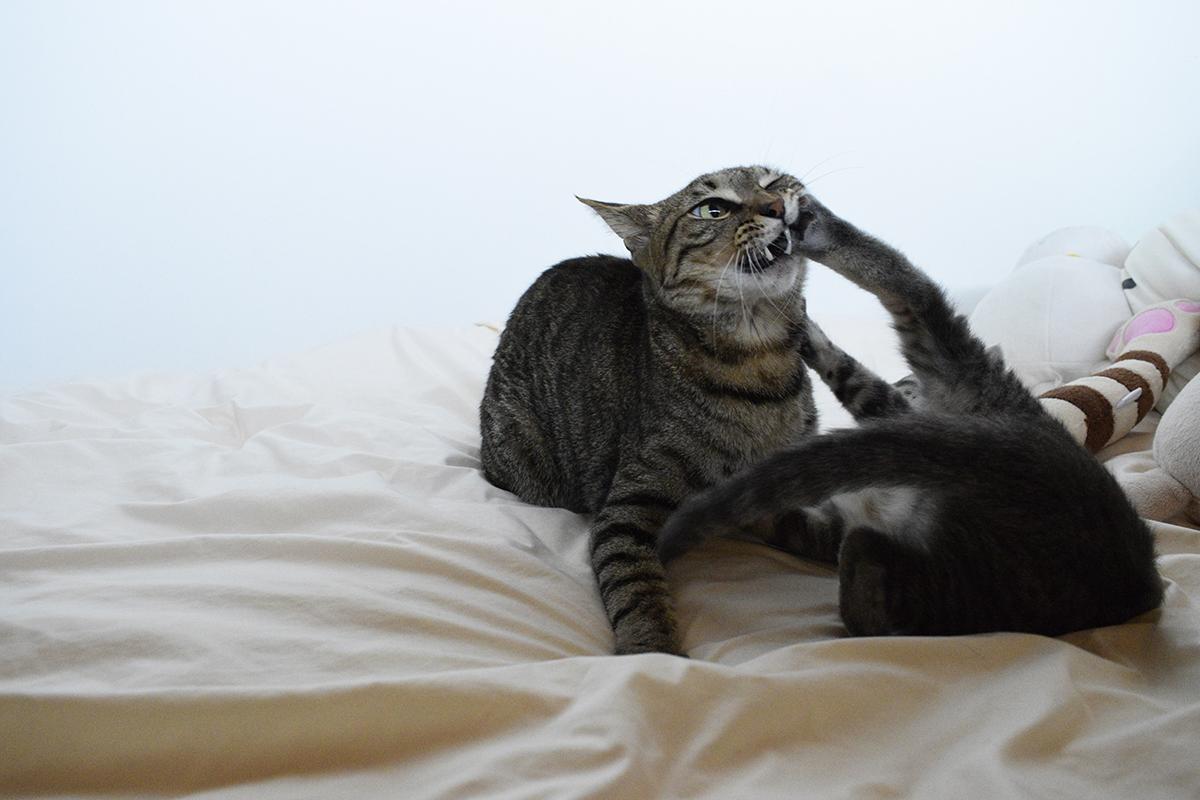 キジトラ猫の虎ノ介に容赦しないサバトラ猫の春太