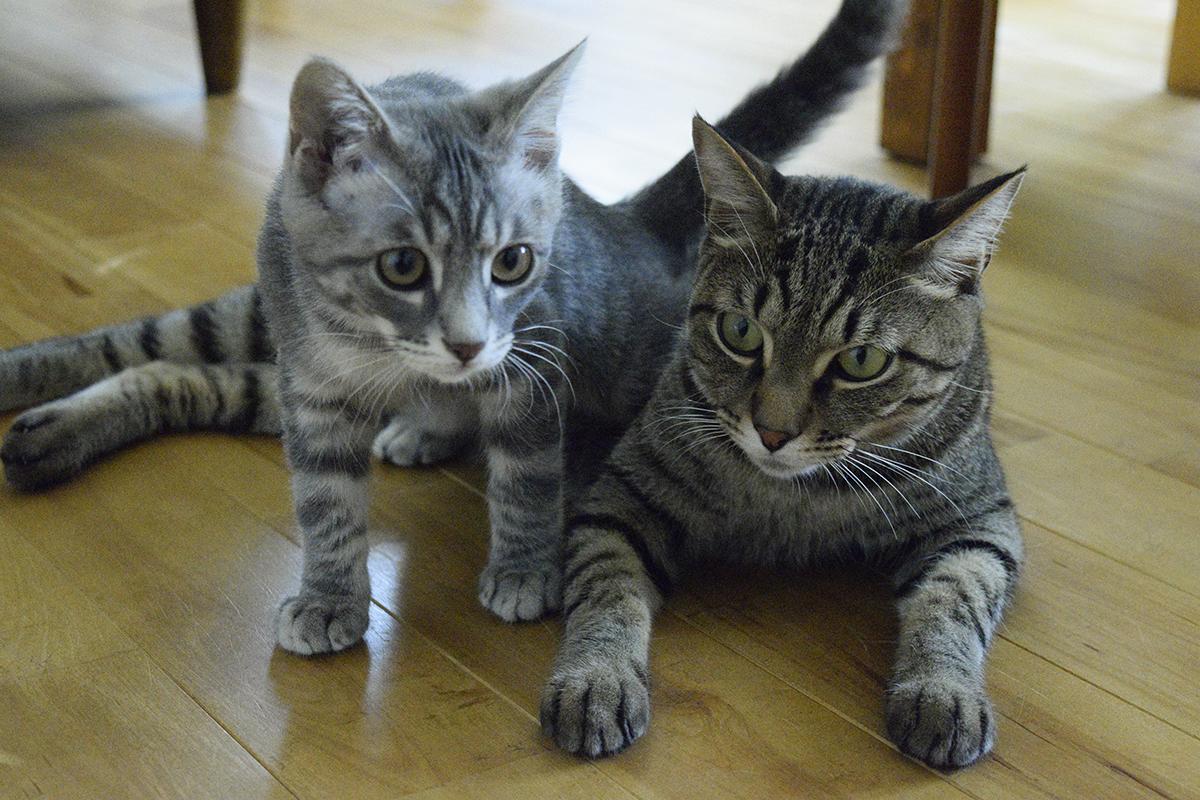 床に寝そべるキジトラ猫の虎ノ介の上をまたくサバトラ猫の春太