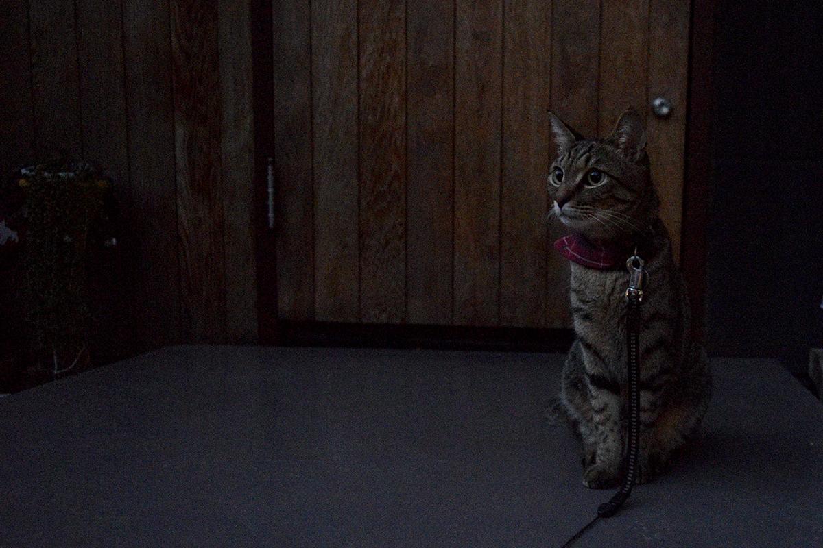 夜のお散歩にでかけるキジトラ猫の虎ノ介