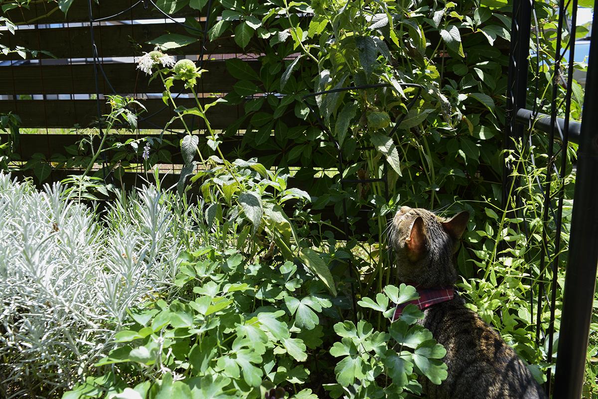 草の中に入るキジトラ猫の虎ノ介