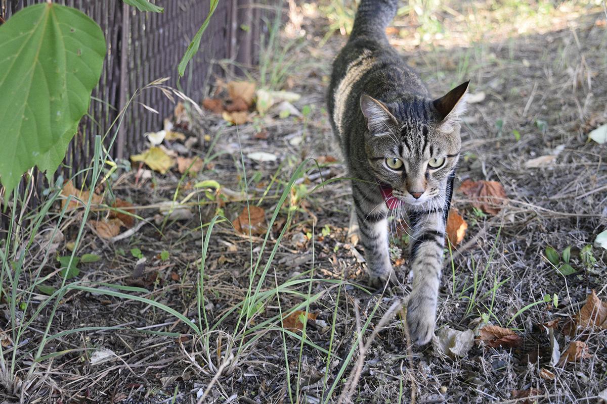 お散歩を満喫するキジトラ猫の虎ノ介