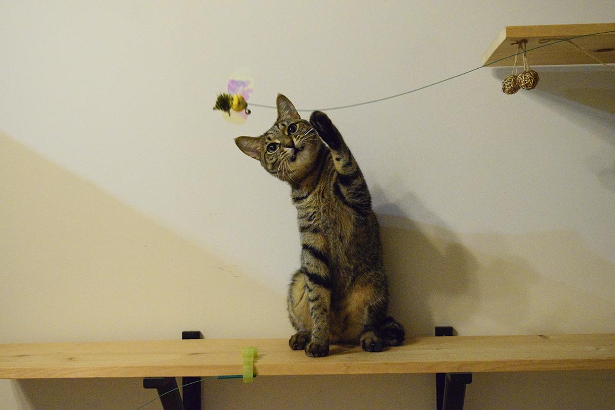 かわいらしくおもちゃで遊ぶ虎ノ介