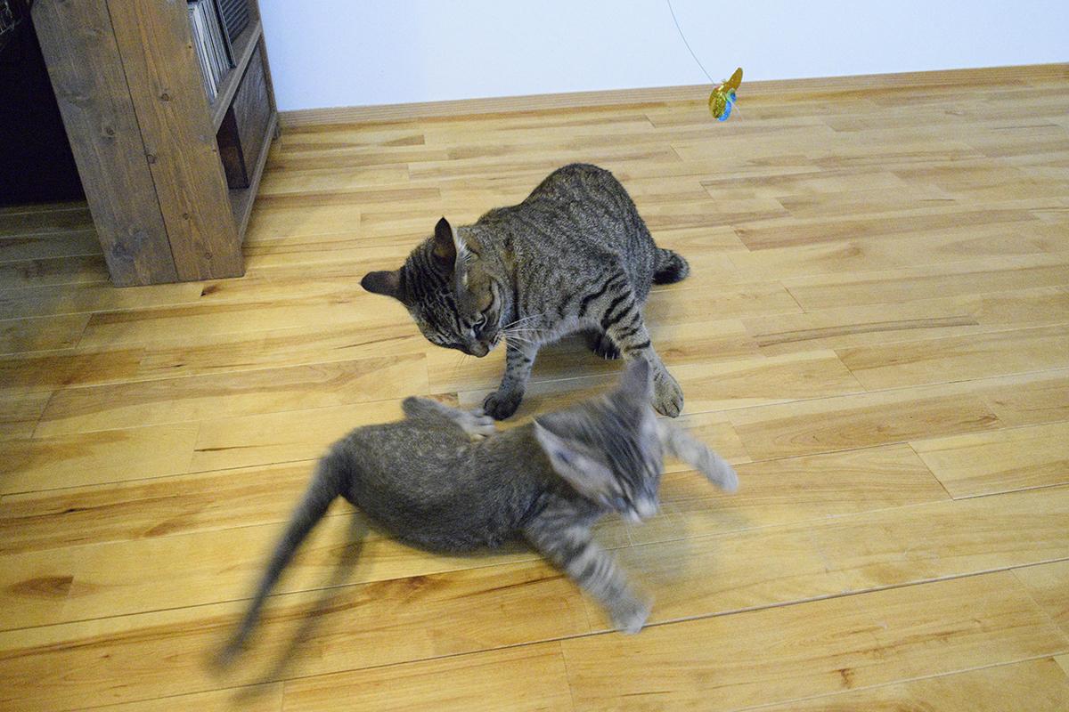 取っ組み合いを始めるキジトラ猫の虎ノ介とサバトラ猫の春太