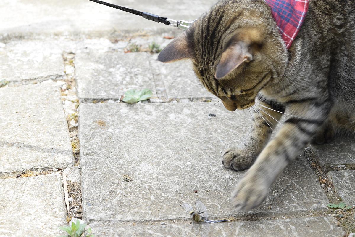 トンボを捕まえたキジトラ猫の虎ノ介