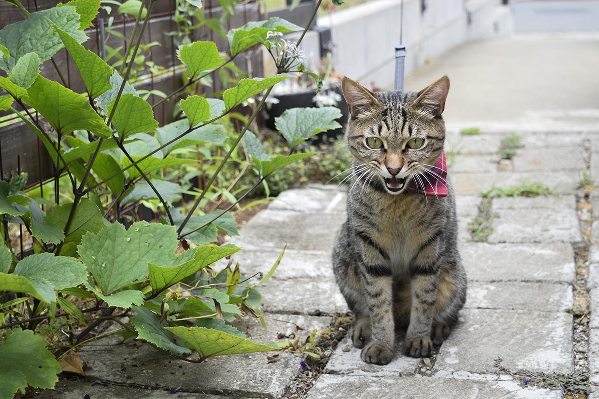 放置されて怒るキジトラ猫の虎ノ介
