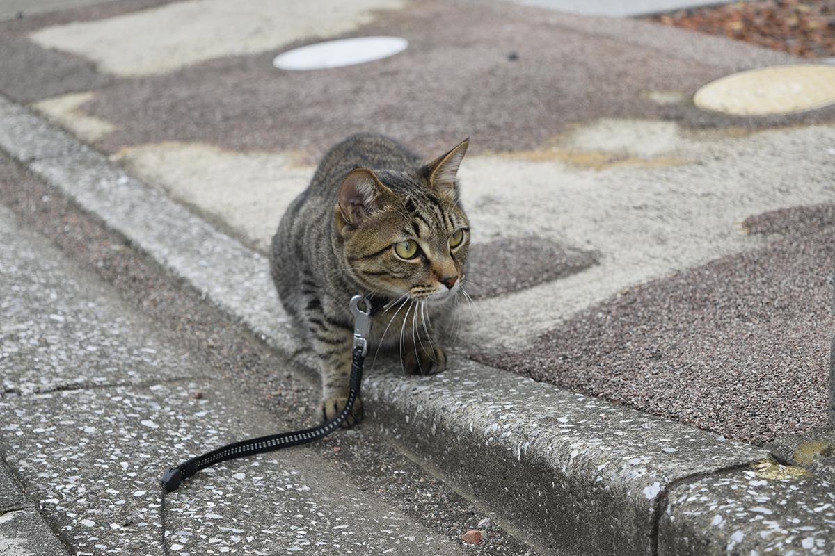 何かを狙うキジトラ猫の虎ノ介