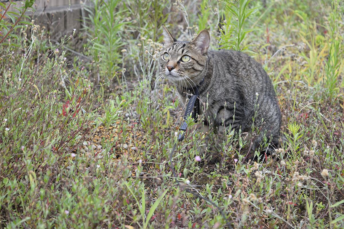 再びトンボを狙うキジトラ猫の虎ノ介