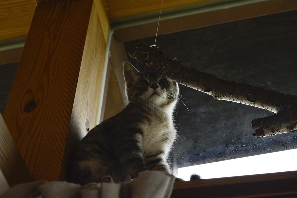 へっぴり腰でキジトラ猫の虎ノ介に近づこうとするサバトラ猫の春太