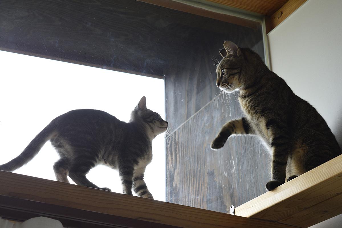 キジトラ猫の虎ノ介に追い払われるサバトラ猫の春太