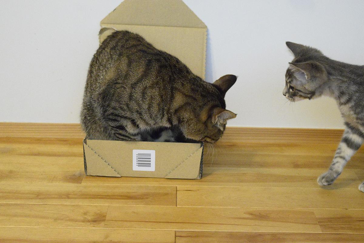 箱にはいったキジトラ猫の虎ノ介に近づくサバトラ猫の春太