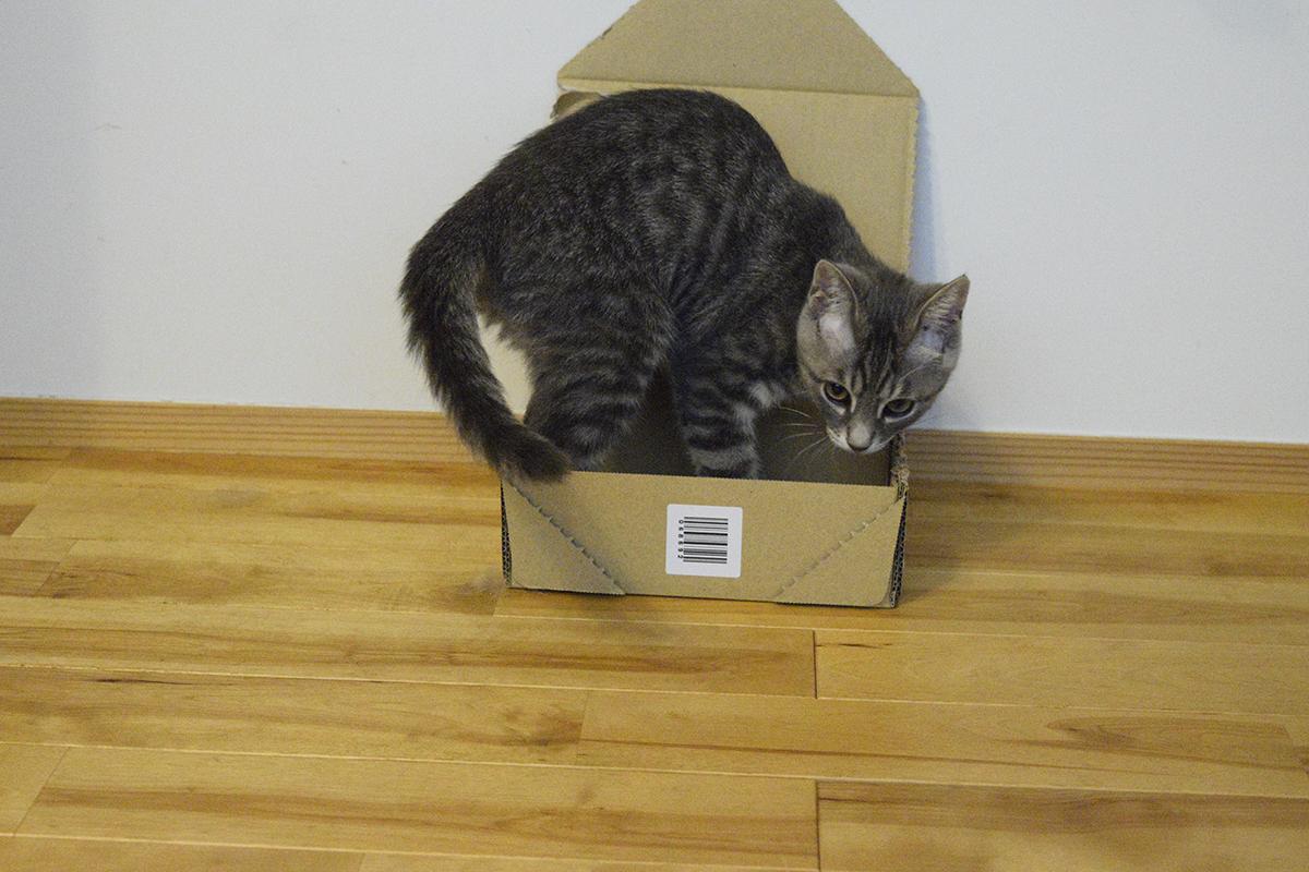 箱にはいったサバトラ猫の春太