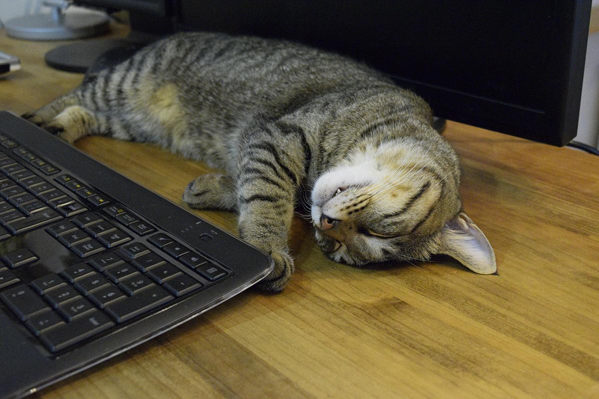 モニタの前で眠るキジトラ猫の虎ノ介