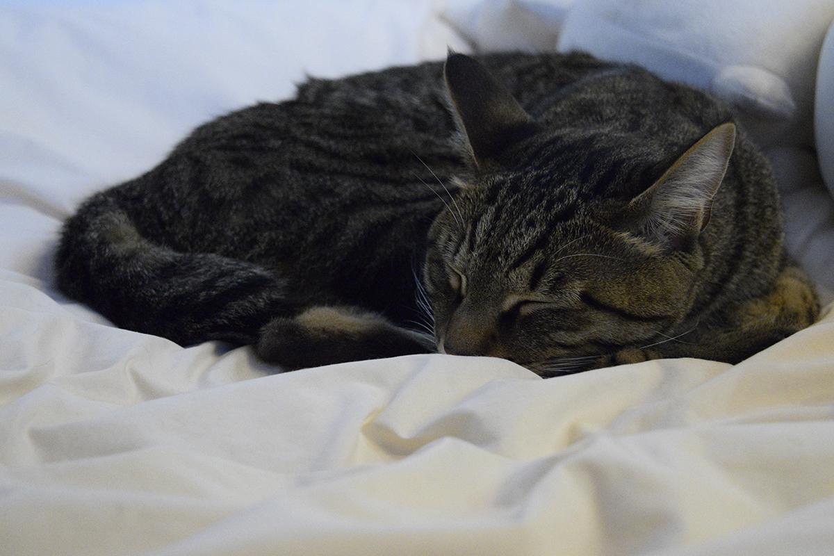 ベッドで眠るキジトラ猫の虎ノ介
