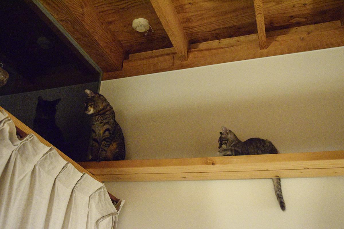 コウモリを眺めるキジトラ猫の虎ノ介とキジトラ猫の虎ノ介を眺めるサバトラ猫の春太