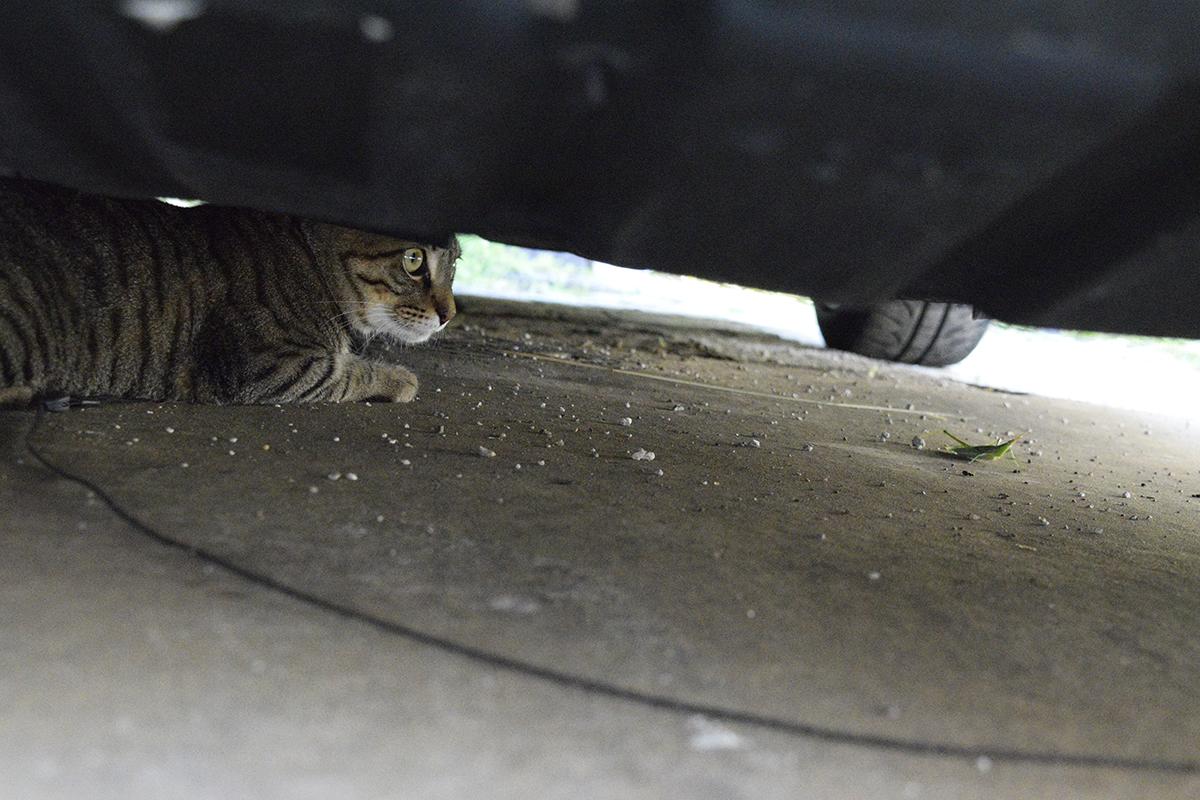 車の下にバッタを連れ込んだキジトラ猫の虎ノ介