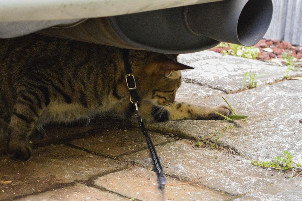 逃げようとするバッタを捕まえるキジトラ猫の虎ノ介