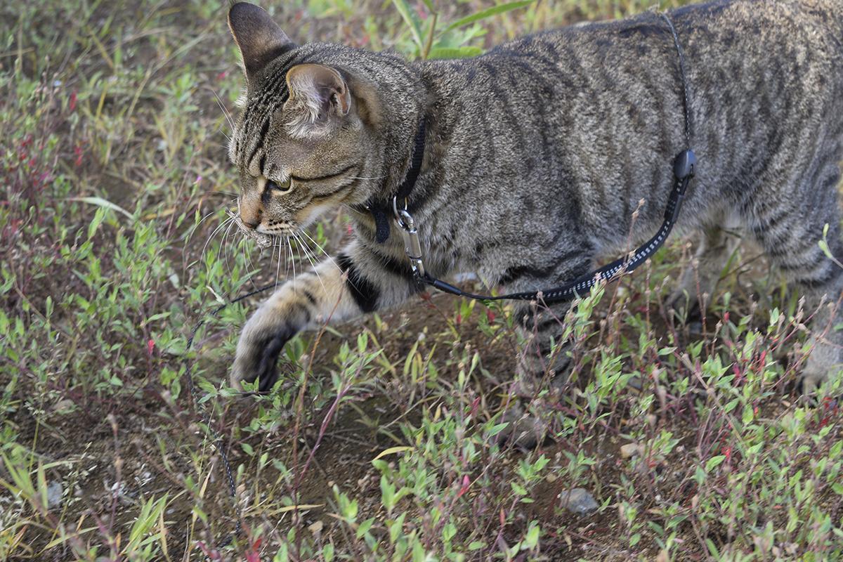 新しいバッタを捕まえたキジトラ猫の虎ノ介