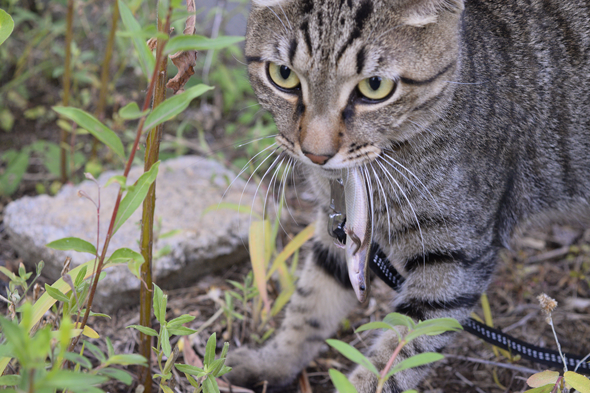 トカゲを捕まえたキジトラ猫の虎ノ介