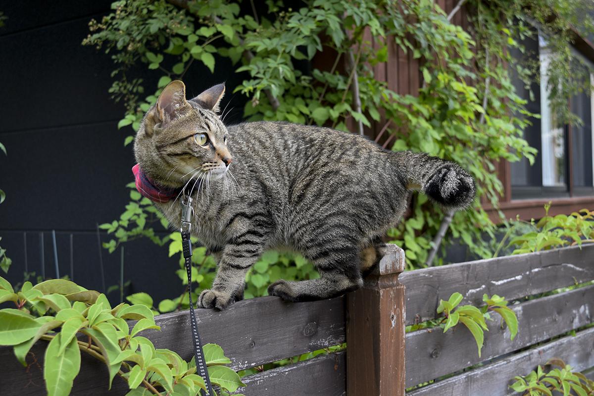 フェンスの上に登るキジトラ猫の虎ノ介