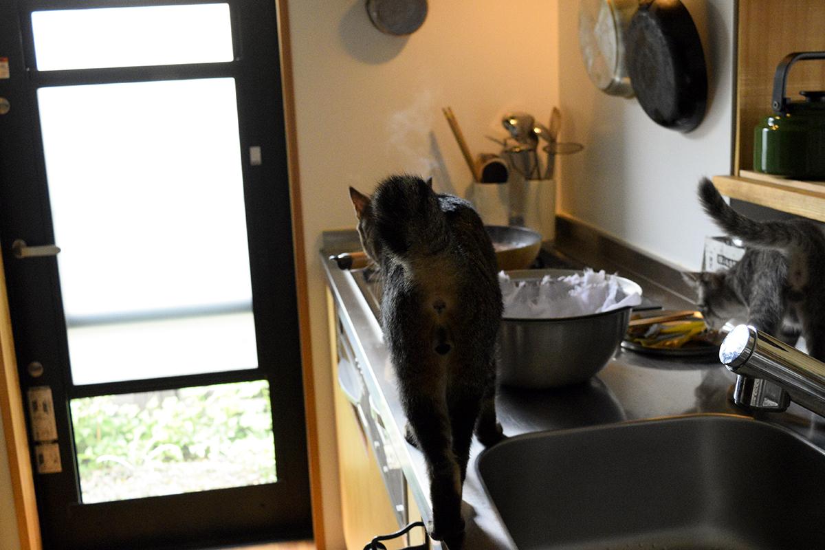 出汁を取っている鍋に向かって歩くキジトラ猫の虎ノ介とサバトラ猫の春太