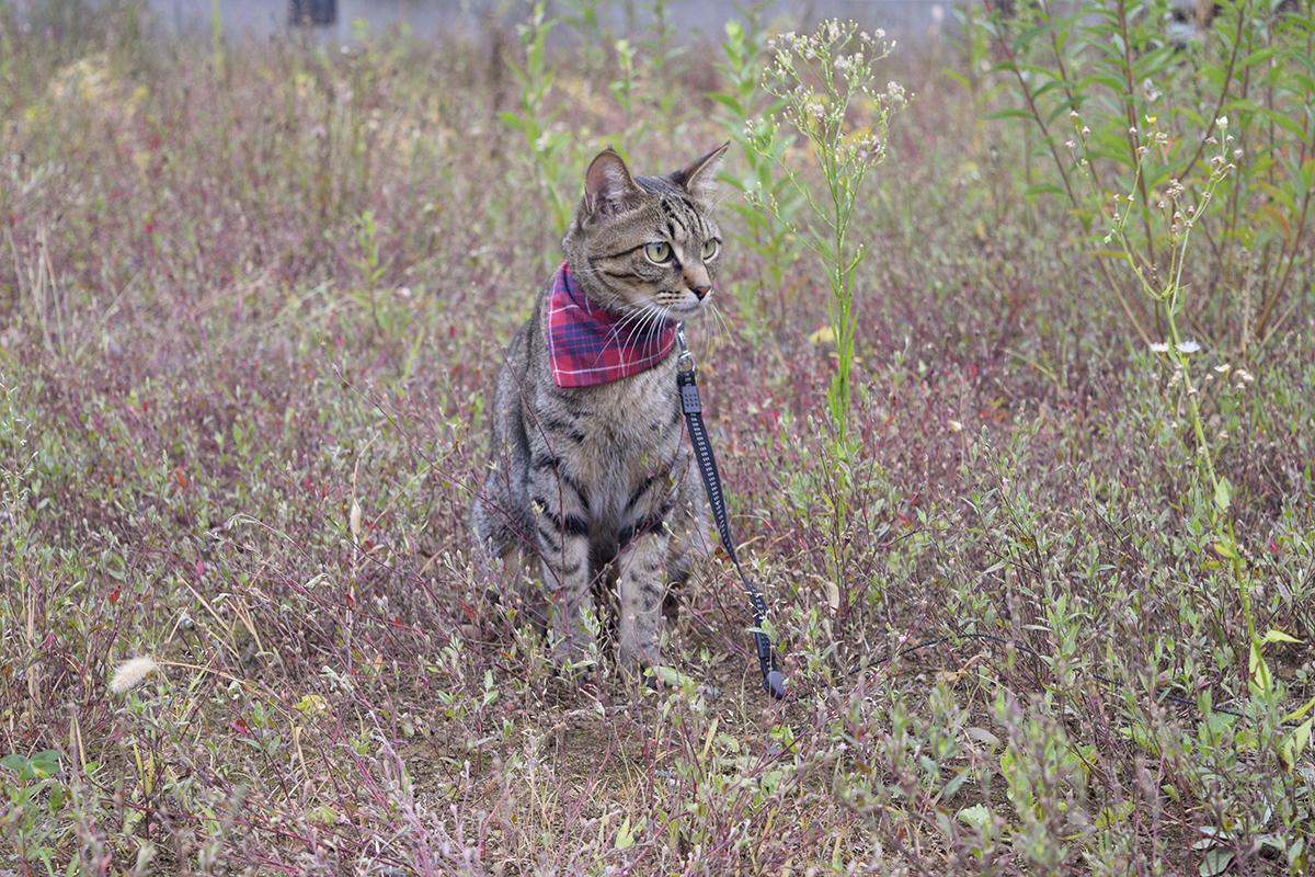 草むらでたたずむキジトラ猫の虎ノ介