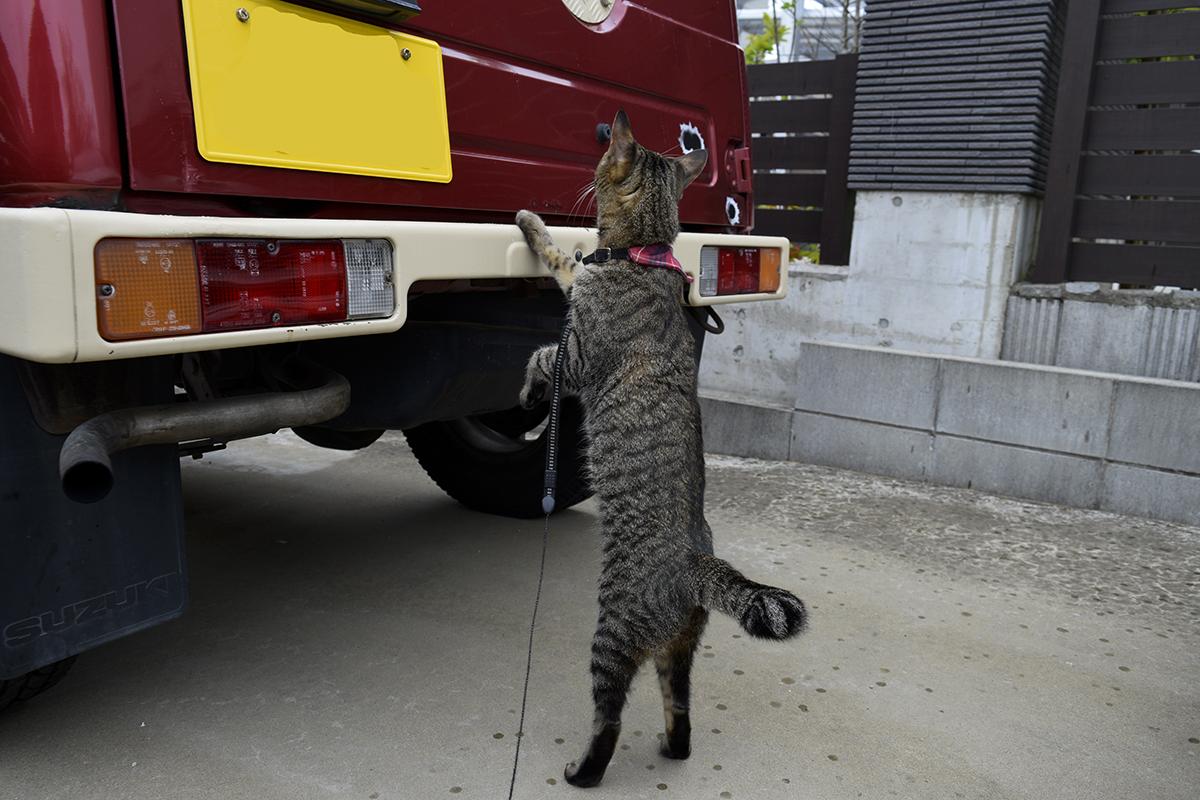 車に乗ろうとするキジトラ猫の虎ノ介