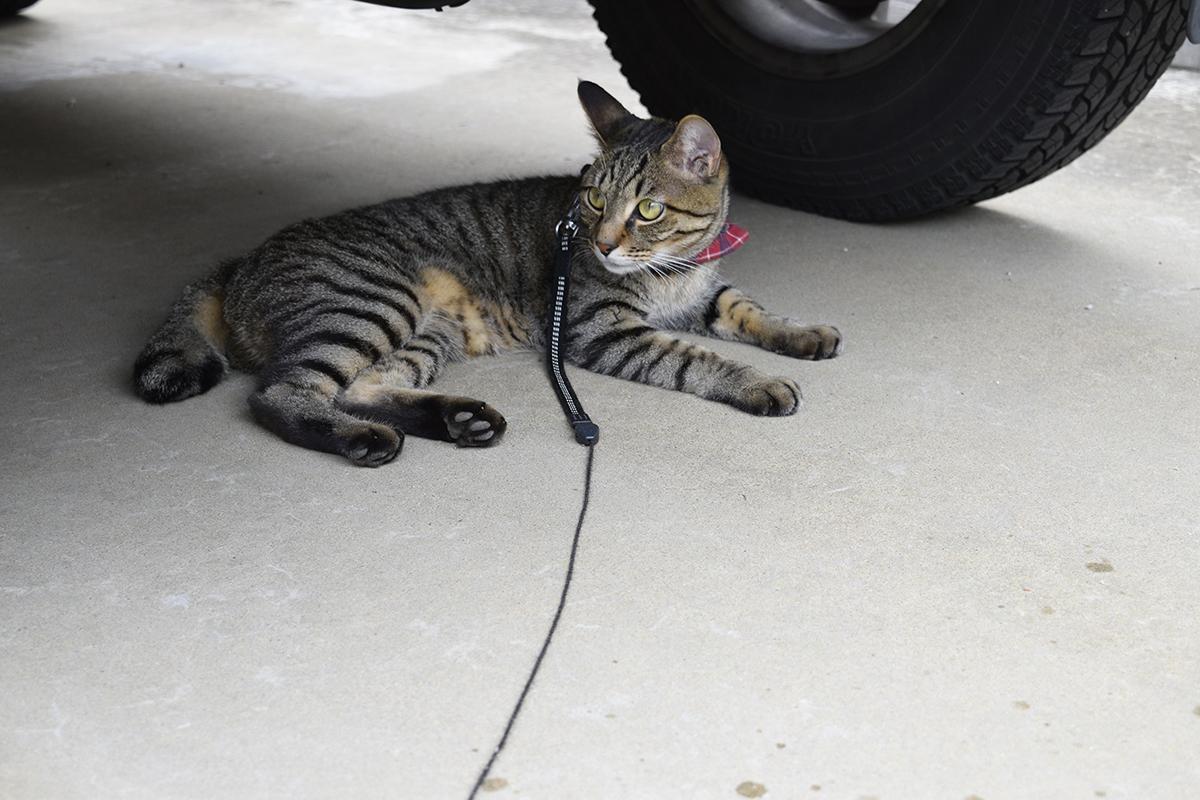 車の下で雨宿りするキジトラ猫の虎ノ介