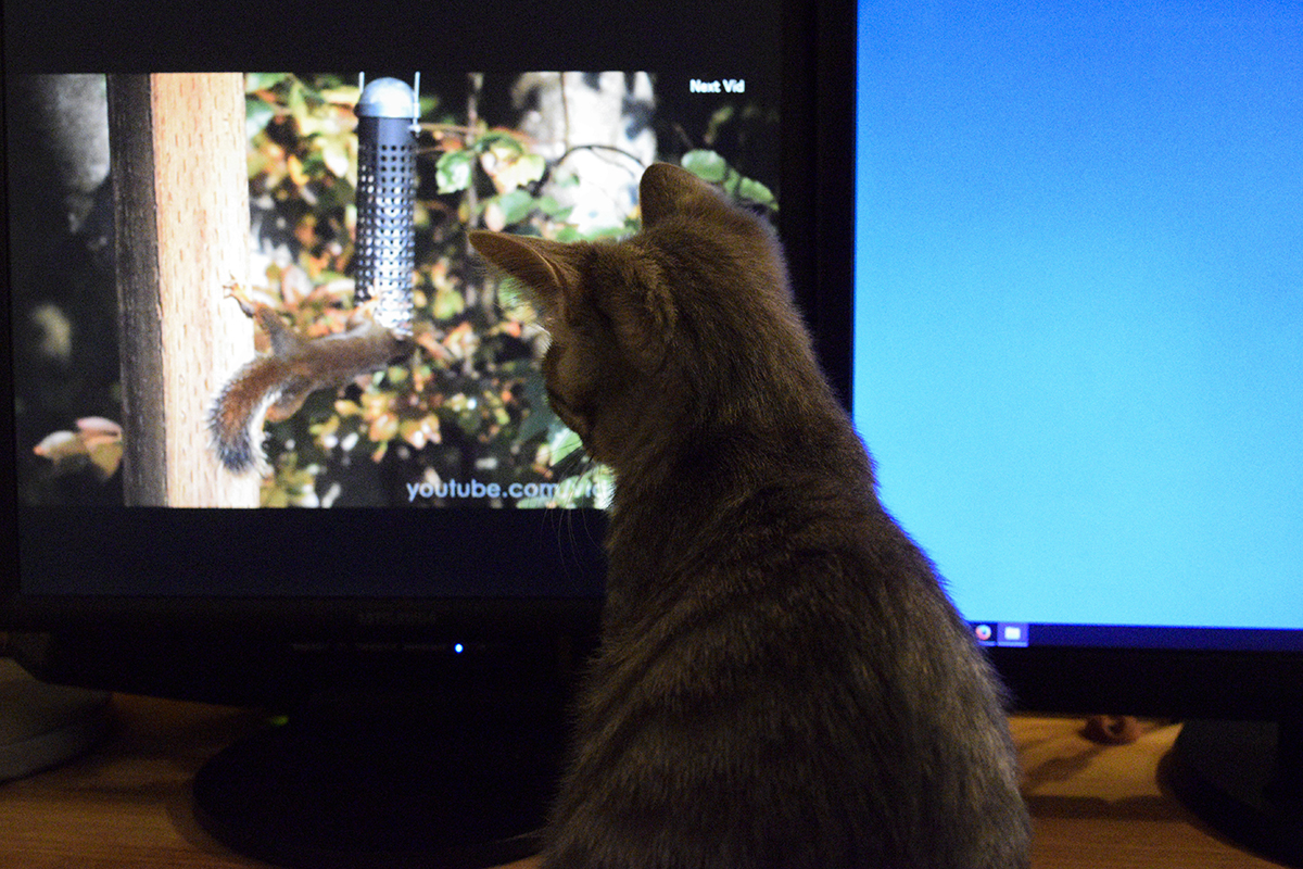 猫のための動画をみるサバトラ猫の春太