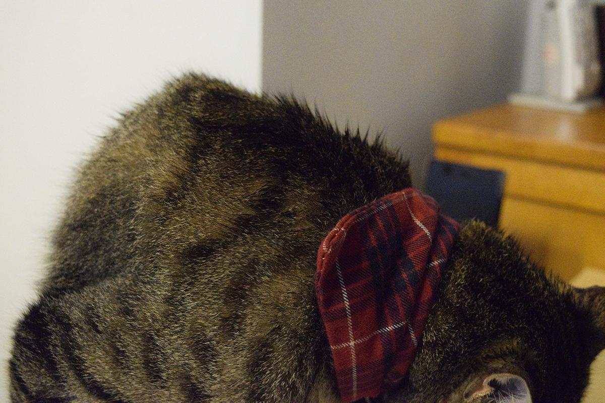 雨にぬれてもどってきたキジトラ猫の虎ノ介