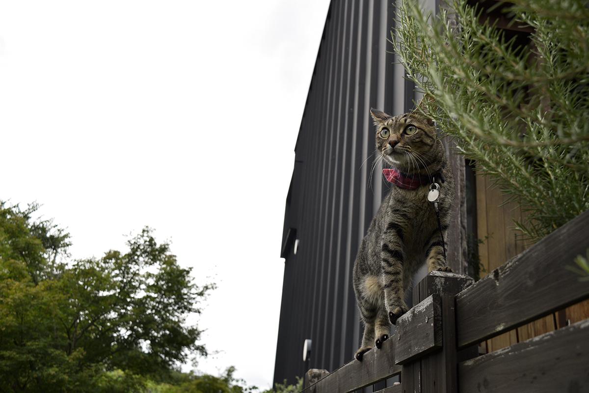 セミを探すキジトラ猫の虎ノ介