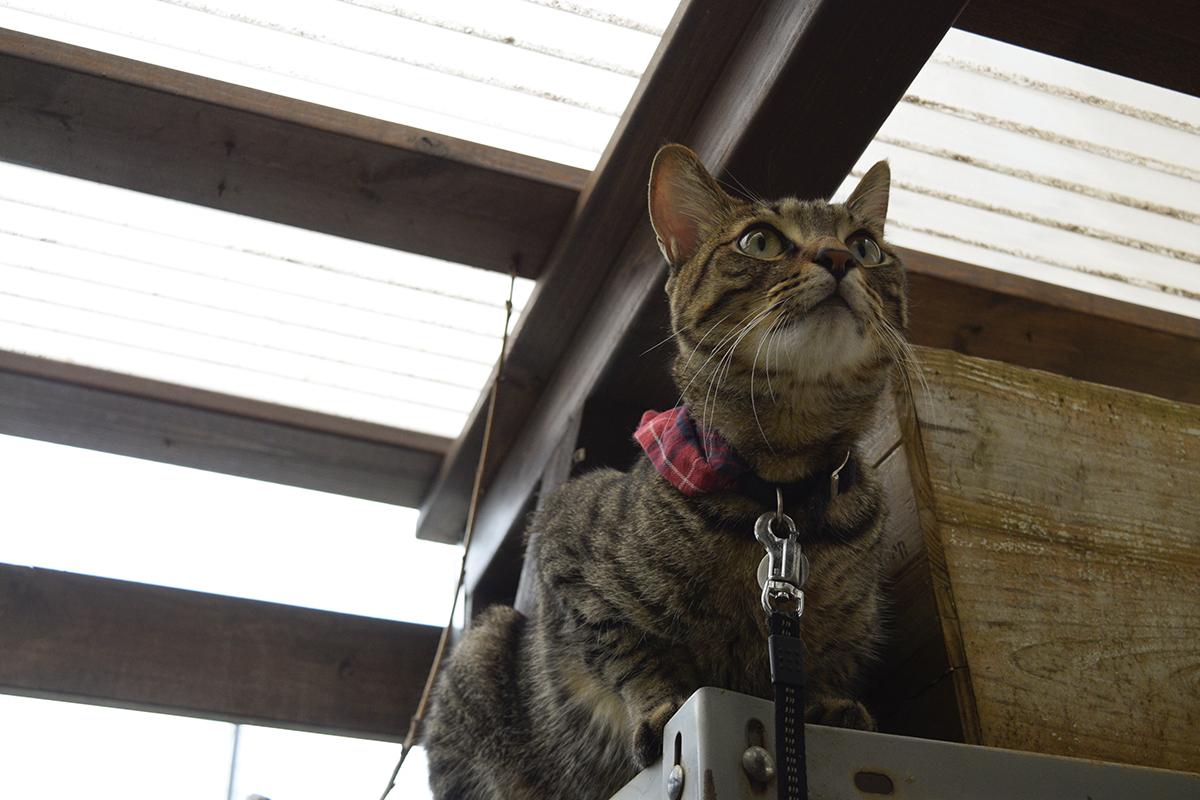 小屋からセミを探すキジトラ猫の虎ノ介