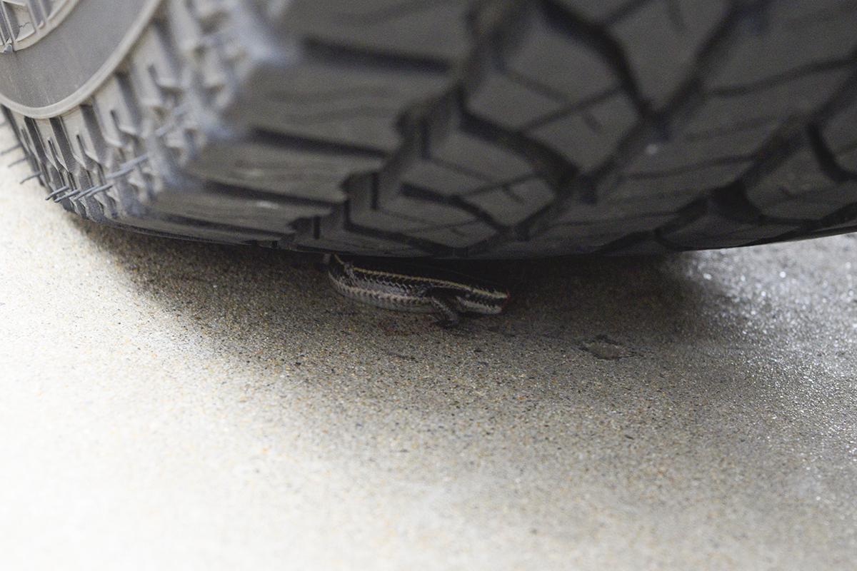 タイヤの下に潜り込んだトカゲ