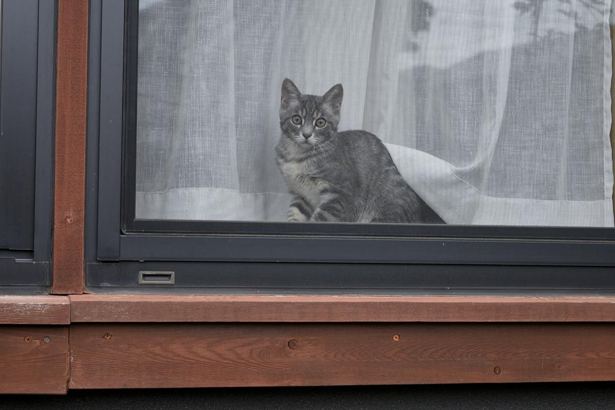 お外にいるキジトラ猫の虎ノ介をみつめるサバトラ猫の春太