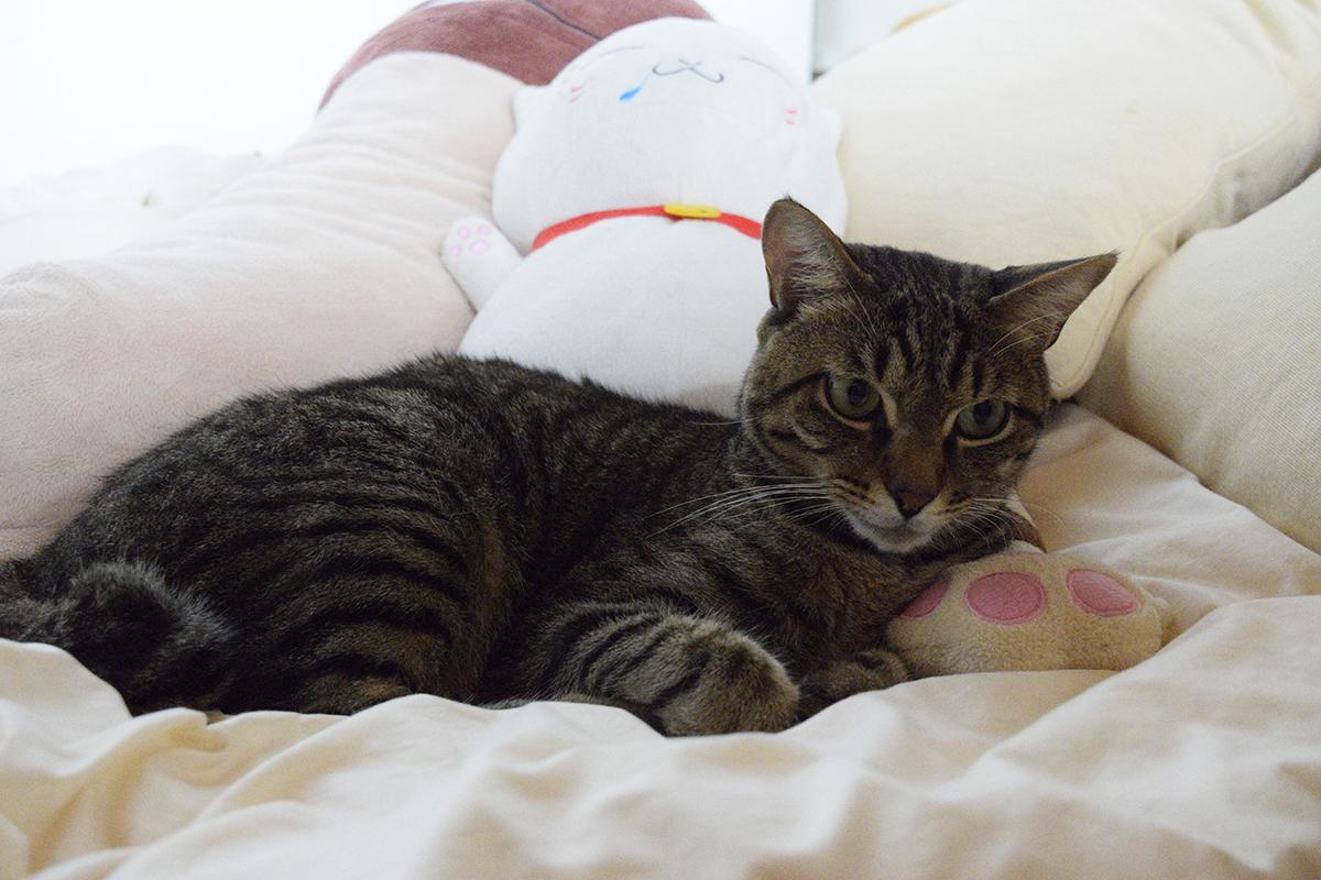 蹴りぐるみを枕にしてくつろぐキジトラ猫の虎ノ介