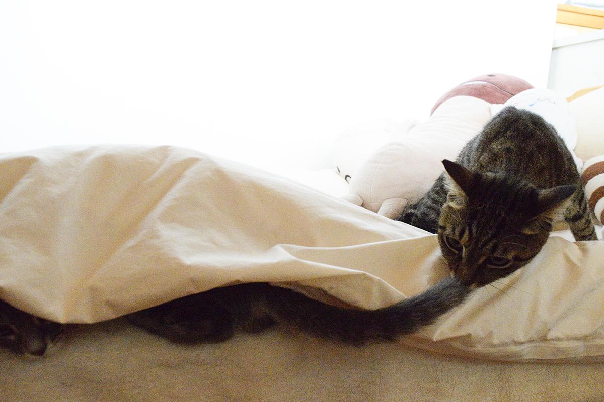 布団にもぐったサバトラ猫の春太のしっぽをチェックするキジトラ猫の虎ノ介