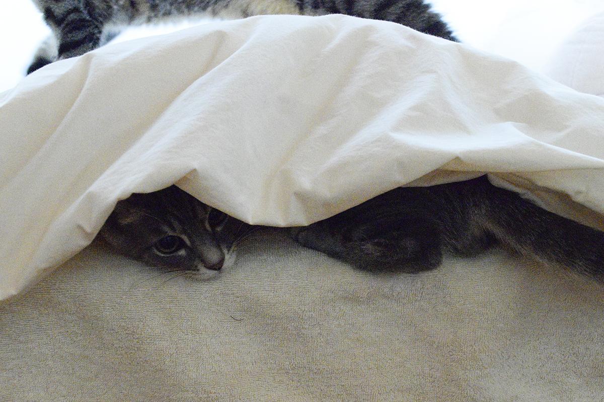 布団にもぐったサバトラ猫の春太を踏んでいくキジトラ猫の虎ノ介